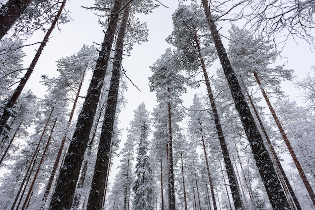 The forest has covered with heavy snow and bad weather sky in winter season at oulanka national park, finland.