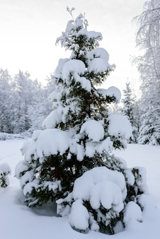 The forest has covered with heavy snow in winter season at lapland, finland.