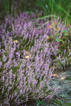 Forest heather, bush of lilac flowers, delicate, beautiful inflorescences