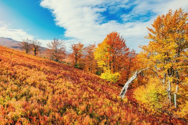 秋のシーズン中の晴れた日の午後の森。カルパティア山脈。ウクラ