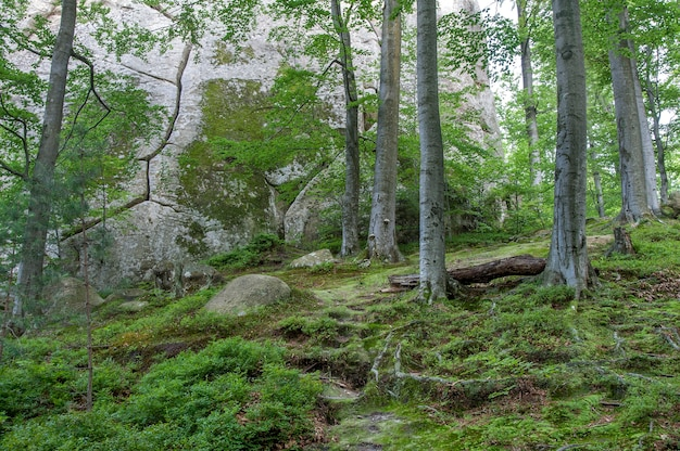 Forest landscape - fairytale beech forest.
