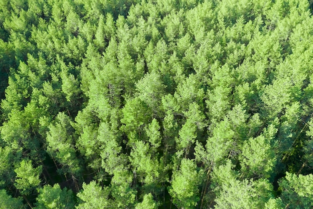 Лесной пейзаж молодых зеленых верхушек деревьев. см. выше.