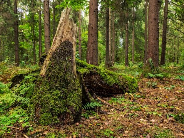 Лесной пейзаж со старым стволом. летний сезон. дикая природа