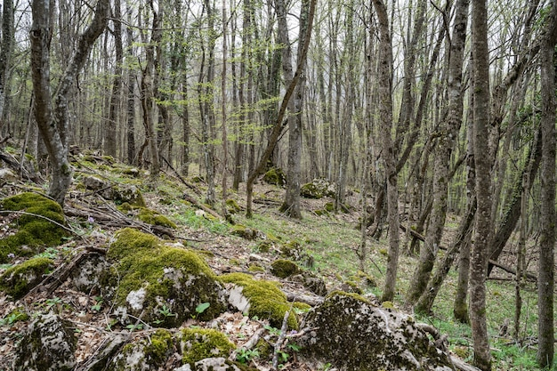 Forest and moss thin trees all around forest landscape fresh forest air the wilderness of the forest