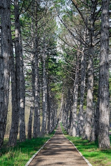 A forest mountain road, lined with pines trees, near park in the springtime.