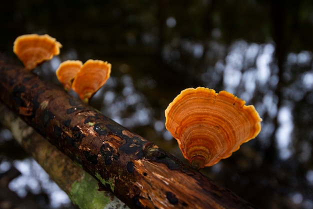 Forest mushroom on wood in the nature jungle - outdoor autumn wild mushroom red