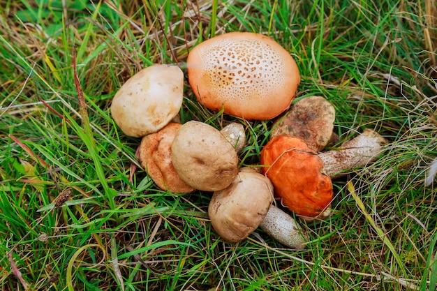 Лесные грибы в траве