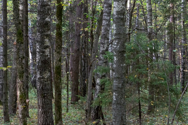 혼합 목재 종의 숲. 가을의 낙엽수와 침엽수 줄기