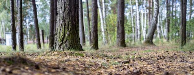 円錐形と根のある森の小道のクローズアップ自然景観における低い視点生態環境