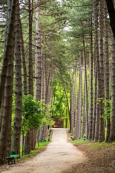 松の木の森の小道