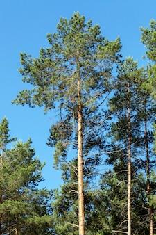 Фото леса, в котором растет большое количество сосен, одиноких деревьев на поверхности голубого неба.