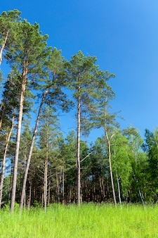 Forest photo, which grows a large number of pine trees, solitary trees on a surface of blue sky