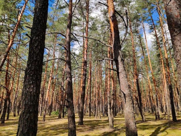 夏の日の森の松の空き地松の幹