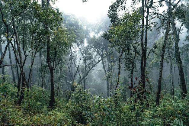 Лесная сосна в азии, дорога в лес в туманный день