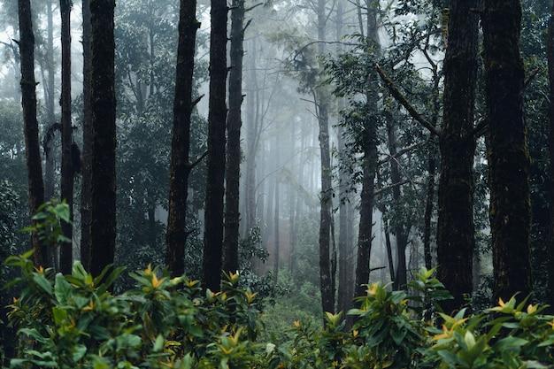 아시아의 삼림 소나무, 안개 낀 날 숲으로 가는 길
