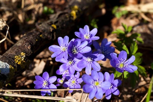 Лесные растения весной в лесу, первые синие лесные цветы в весенний сезон
