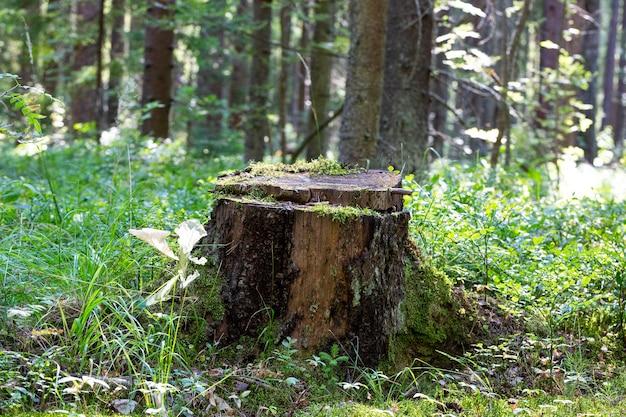 Лесная сцена, старый пень в летнем зеленом лесу среди травы и деревьев
