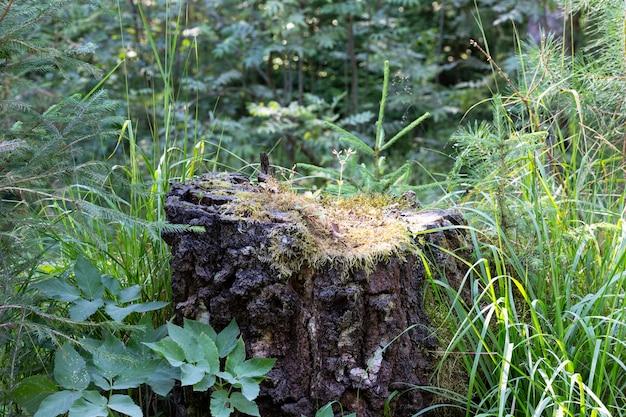 Лесная сцена, старый пень в летнем зеленом лесу