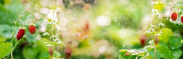 Лесная клубника растет на грядке, боке из небольших брызг воды, баннер