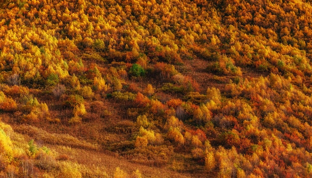 Forest in sunny afternoon while autumn season. carpathians. ukra
