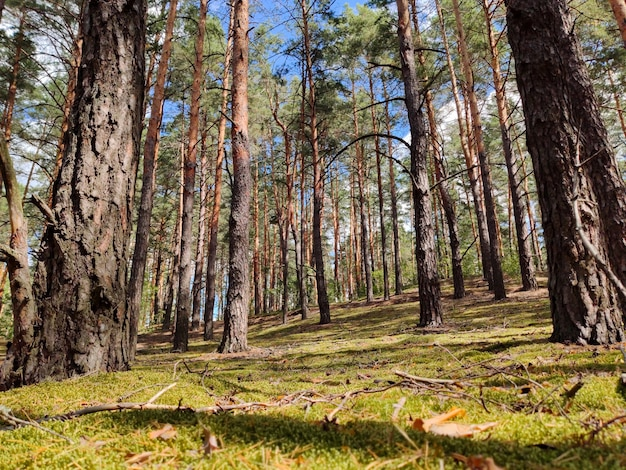 森の晴れた日の木は丘の上に生えています
