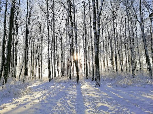 ノルウェーのラルヴィークで日光の下で雪に覆われた木々に囲まれた森
