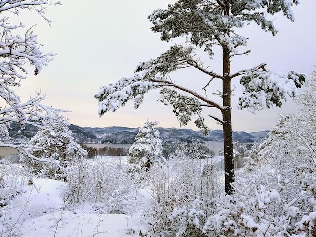 ノルウェーのラルヴィークの日光の下で雪に覆われた木々に囲まれた森