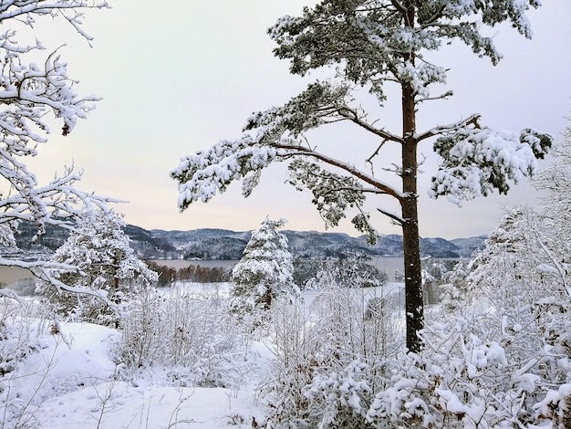 Forest surrounded by trees covered in the snow under the sunlight in larvik in norway