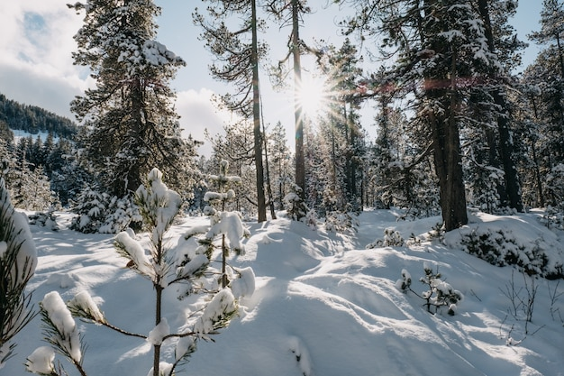 Forest surrounded by trees covered in the snow under the sunlight in winter