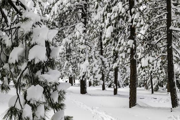 日光の下で雪に覆われた木々に囲まれた森