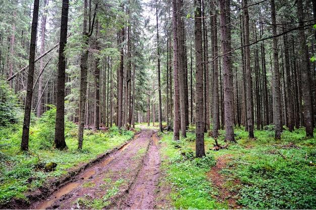 Лесная заболоченная извилистая дорога с лужами среди деревьев