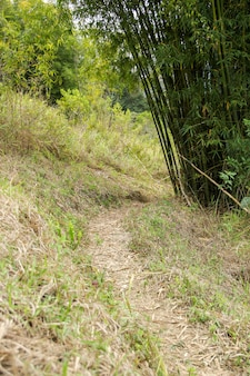 Forest trail with bamboos linking to reach the mountain summit in teresopolis.