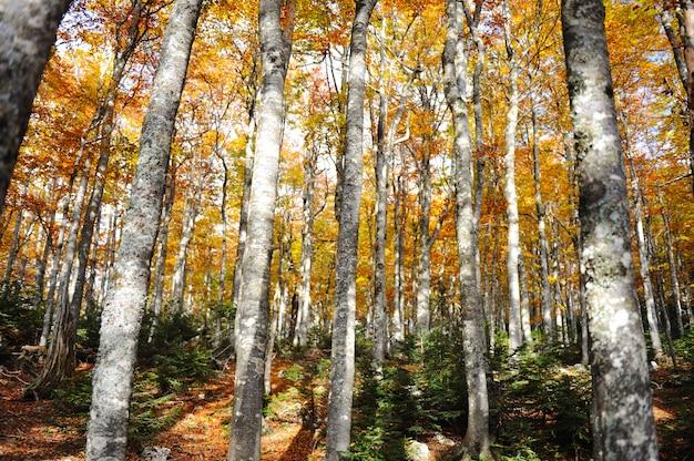 森林の木の秋黄色と緑の背景