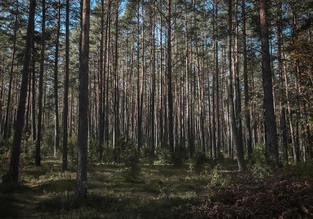 소나무 숲 침엽수 풍경의 숲 나무 줄기