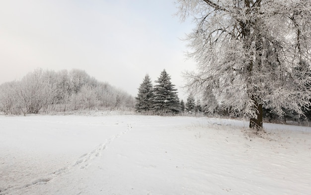 Forest trees covered with snow