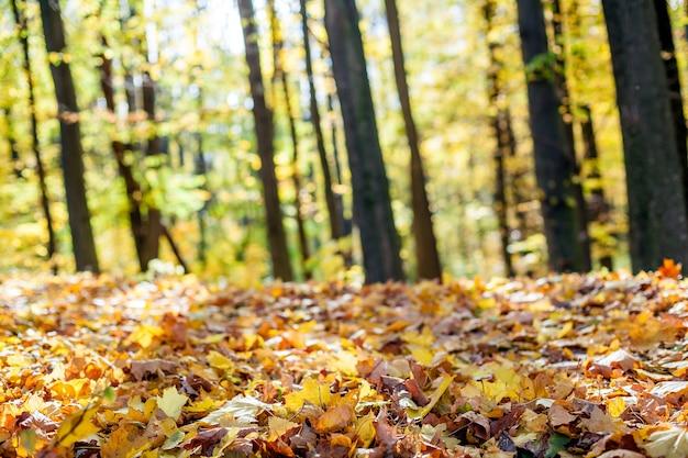 Лесные деревья осенью. солнечные лучи в лесу. фоны.