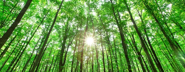 Forest trees. nature green wood sunlight background