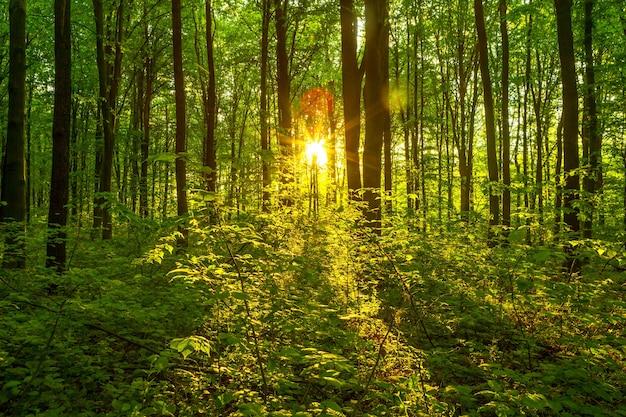 Лесные деревья. природа зеленый дерево солнечный свет фоны. небо