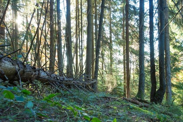 森の木。自然緑の木の日光の背景