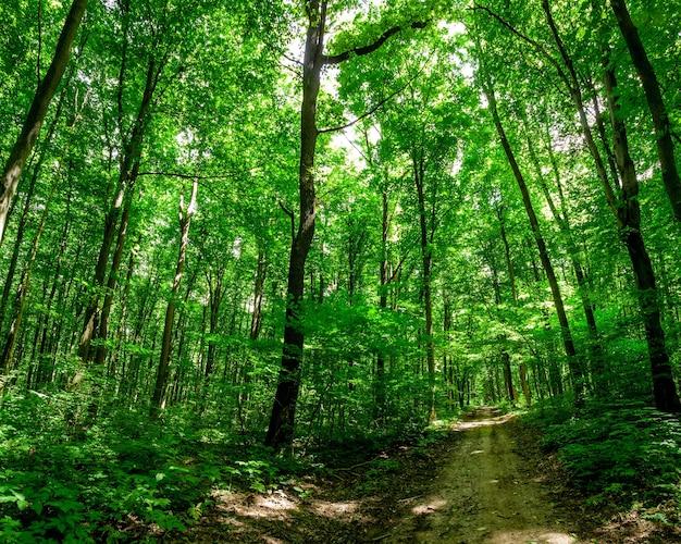 森の木。自然緑の木の日光。空