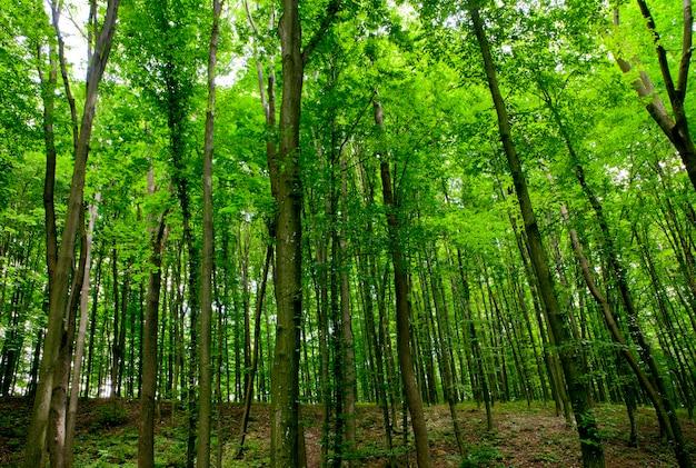 森の木々は緑の木の日光を自然にしています。