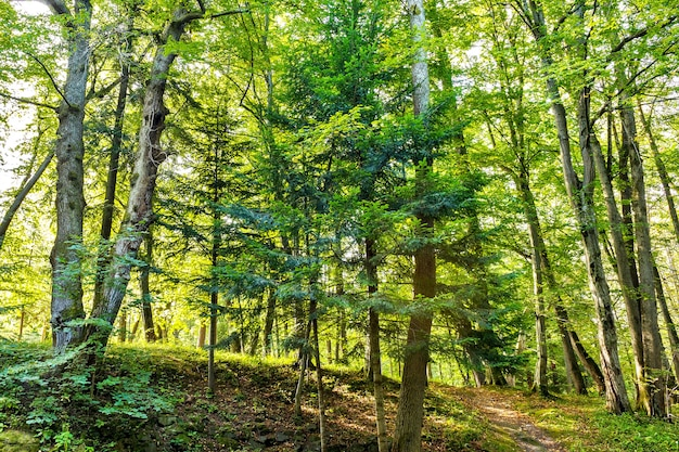 Forest trees. nature green