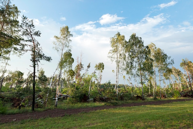 A forest where a lot of broken birch trees after the last storm, dusk, sunset time