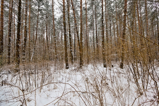 The forest in winter is covered with snow after the last blizzards and snowfalls a beautiful landscape