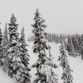 Forest in winter, whistler, british columbia, canada