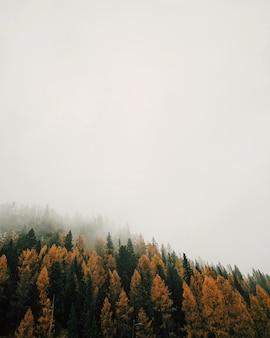 霧深い天候の間に色とりどりのカラマツの森