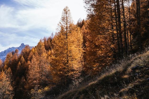 イタリアアルプスの秋のオレンジの木の森