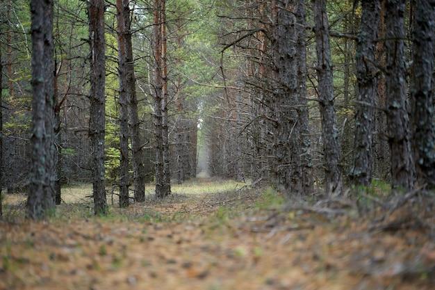 Лес с соснами в летний день, крупным планом