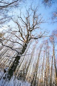 Лес со снегом в лесу с большим деревом