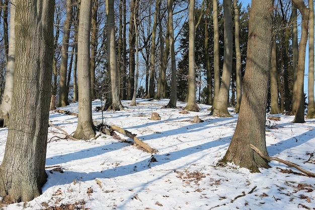 Foresta con alti alberi spogli sul terreno innevato in inverno